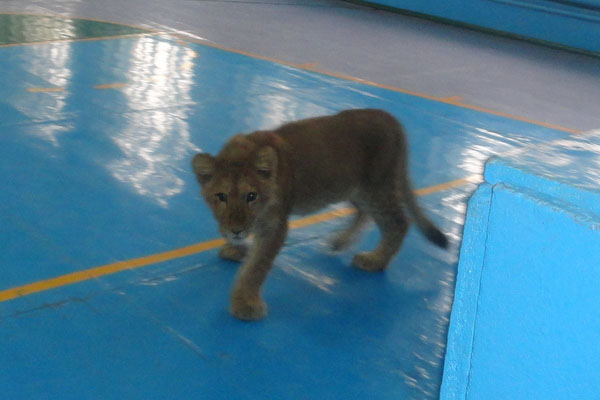 Lion cub in the gym